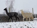 Einweihungsfeier Lamas | 08